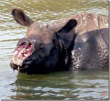 rhino-life-in-nepal